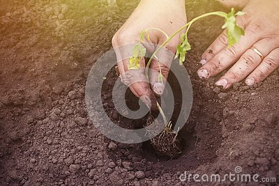 stock image of planting tomato sprouts in the spring in the ground