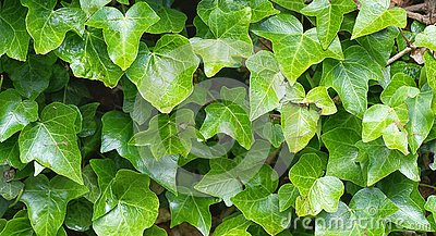 Close up of English Ivy, Hedera helix. Background.