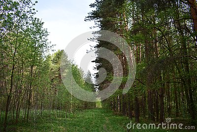 This forest is quiet and majestic, stands alone among the forests and light birch woods scattered