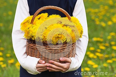 stock image of child holding basket with dandelion yellow flowers.
