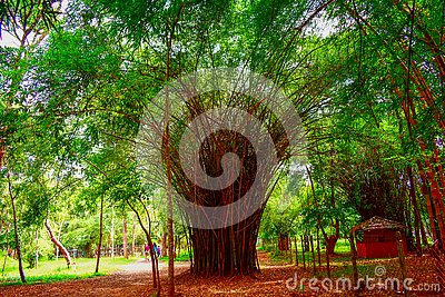 stock image of view of the lush thick and green bamboo groves in the garden creates a magical background