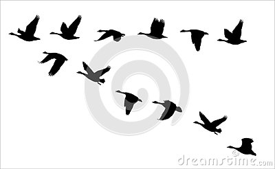 Flock of flying canadian geese Canada Goose