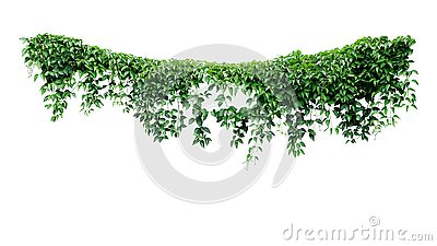 Hanging vines ivy foliage jungle bush, heart shaped green leaves climbing plant nature backdrop isolated on white background with