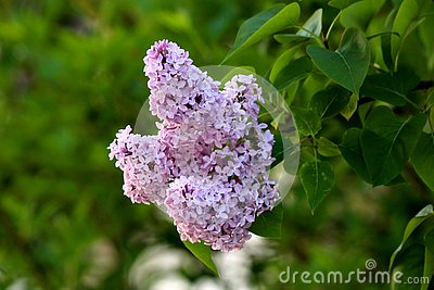 Summer lilac or Buddleia davidii flowering plant with violet fully open blooming flowers on multiple pyramidal spikes surrounded