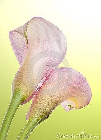 Radiant Calla Lily Background