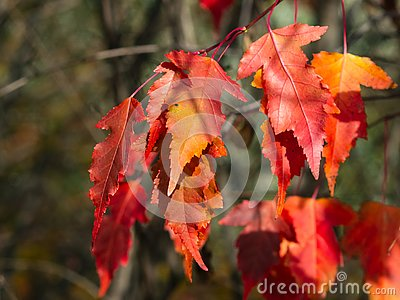 Leaves of Amur Maple or Acer ginnala in autumn sunlight with bokeh background, selective focus, shallow DOF