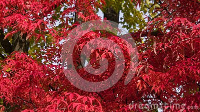 Leaves of Manchurian Maple or Acer mandshuricum in autumn sunlight background, selective focus, shallow DOF