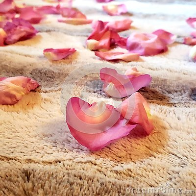 Pink rose flower pedals lying on the ground