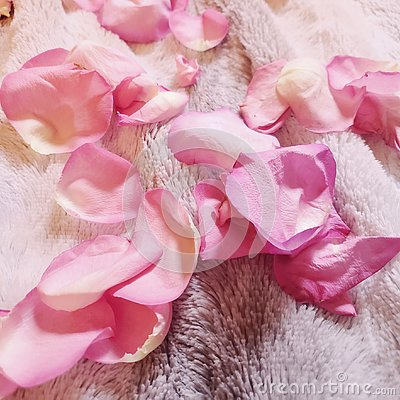 Pink roses flower pedals lying on the ground