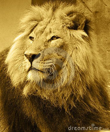 stock image of lion