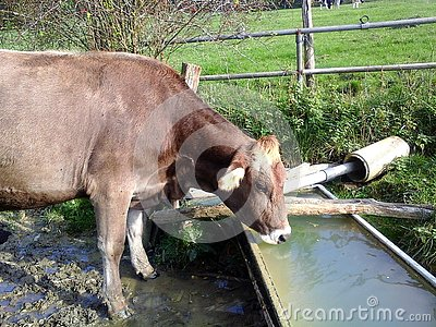stock image of cow, a thirsty cow drinks