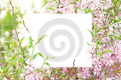 Cherry blossoms in full bloom. Creative layout made of flowers and leaves with paper card.