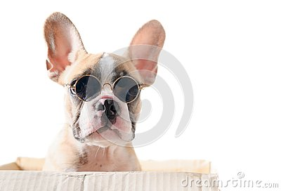 Cute french bulldog wear sunglass in paper box