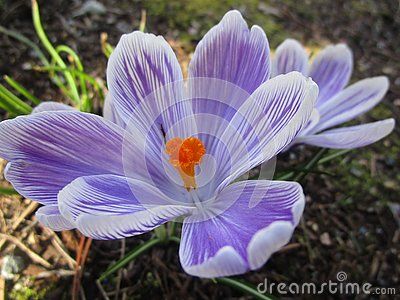 Bright attractive sweet light color Whitewell Purple Crocus flower blooming in mid-spring in a garden 2019