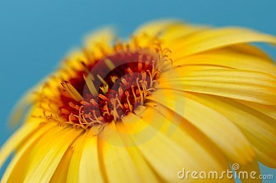 Detail of yellow calendula, flower