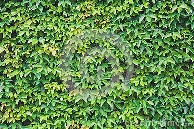 Vertical garden, green leaves wall texture, natural green leaf climbing plant covered concrete wall background
