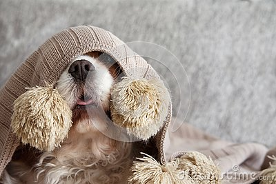 SICK, PLAYFUL  OR SCARED CAVALIER DOG PUPPY COVERED WITH A WARM  TASSEL BLANKET ON SOFA