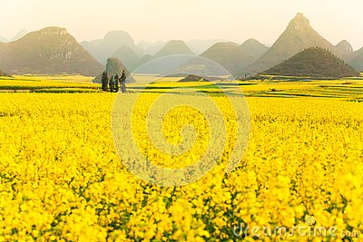 Colorful scenery of mustard fields on springtime, blooming yellow mustard flowers in the valley at sunrise