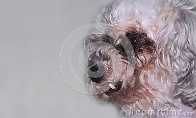 Little white old dog is blind. Age deformation of teeth concept pets