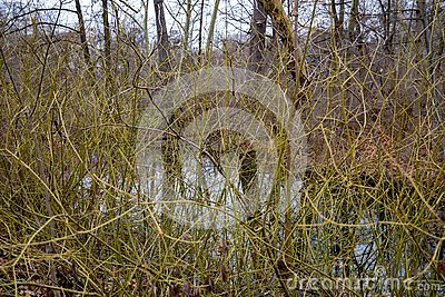 Curly bare bush branches overgrown by lake shore