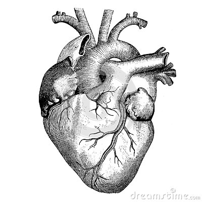 Medicine - The human heart - Victorian Anatomical drawing