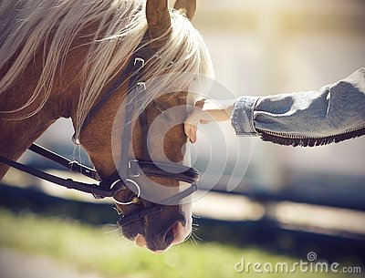The hand of a girl stroking the face of a horse with a long beige mane