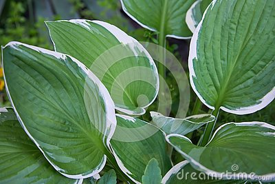 Hosta Patriot plant in the garden. Closeup yellow and green leaves background.