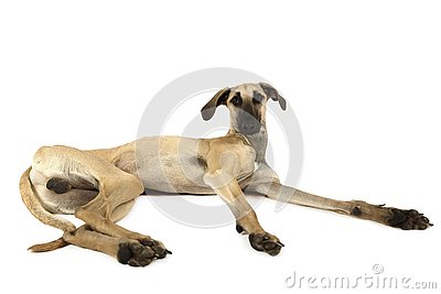 Arabian Sloughi breed dogisolated on a white