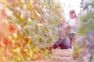Father giving organic tomato to daughter at farm