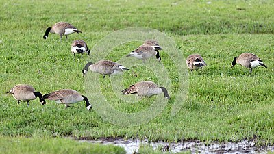 A Group of Canada Geese