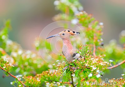 The hoopoe is photographed in the thick grass and on the branches