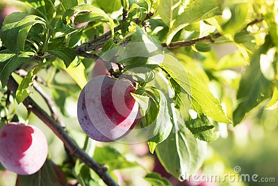 Red plums hanging on the tree