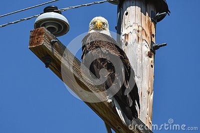 Bald eagle on telephone pole looking straight at camera