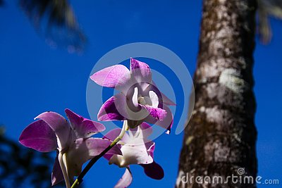 Close up of pink and white dendrobium orchid with blurred trunk of palm tree against blue sky, Chiang Mai, Thailand