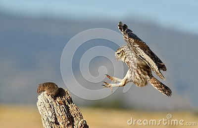 little owl comes to his innkeeper for a prey
