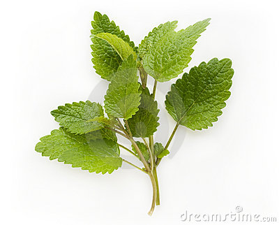 Fresh lemon balm (melissa)