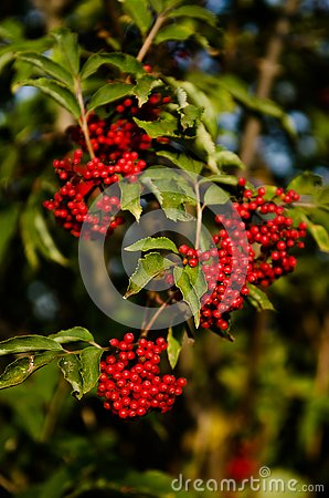 Close up photo of bright vivid red colored berries on branches. Rowan-tree fruitage in summer. Large bunches full of berries. For