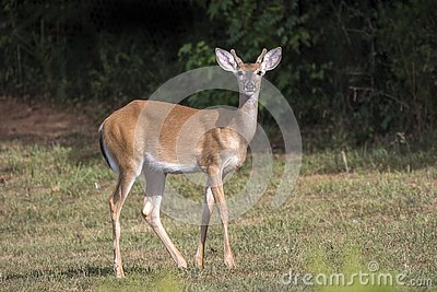 Young White Tailed Deer buck in Velvet Antlers