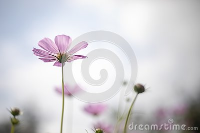 Under pink cosmo flower and blue sky background