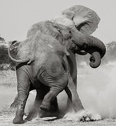 African Elephants fighting - Botswana