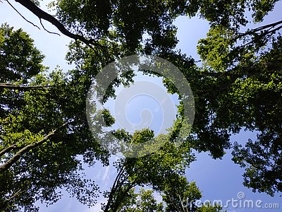 tall trees in the forest, reach for the sky and create