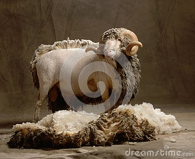 Sheep without a part of the wool