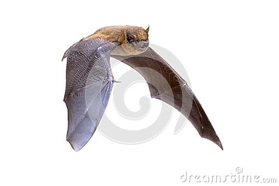 Flying Pipistrelle bat isolated on white background