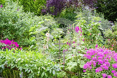 Beautiful flowering summer garden with blooming pink phlox, hollyhocks and butterfly bush