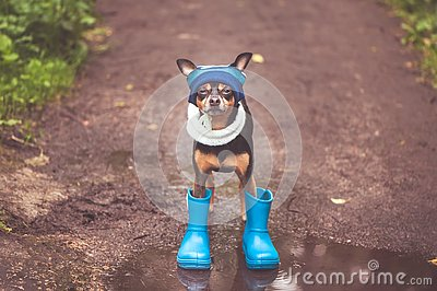 cute puppy, a dog in a hat and rubber boots is standing in a puddle and looking at the camera. Theme of rain and autumn