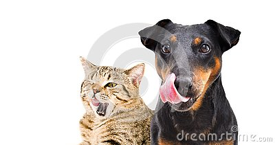 Portrait of funny dog breed Jagdterrier and cat Scottish Straight licks
