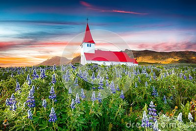 Fantastic sunset view of Vikurkirkja christian church in blooming lupine flowers