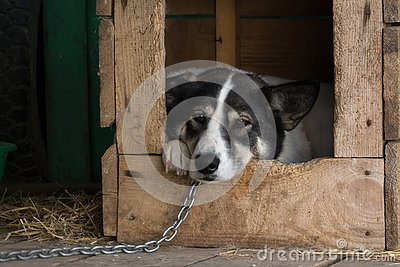 Sad dog on a chain
