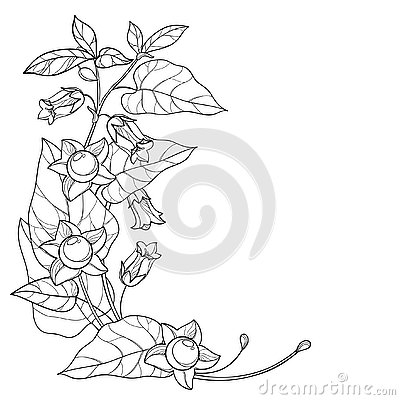 Vector corner bunch with outline toxic Atropa belladonna or deadly nightshade flower, bud, berry and leaf in black isolated.