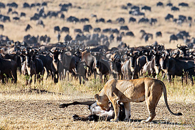 Lioness leans toward the carcass wildebeest